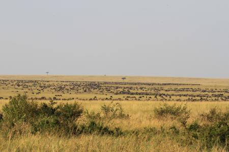 wildebeest-congregating-at-bila-shaka