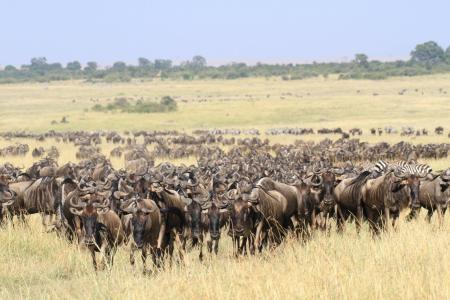 wildebeest-moving-towards-paradise-plains