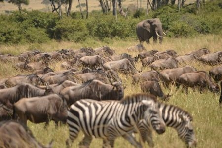 migration-in-the-mara-triangle