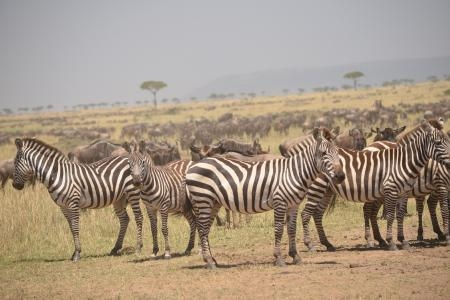 zebra-in-the-mara-triangle