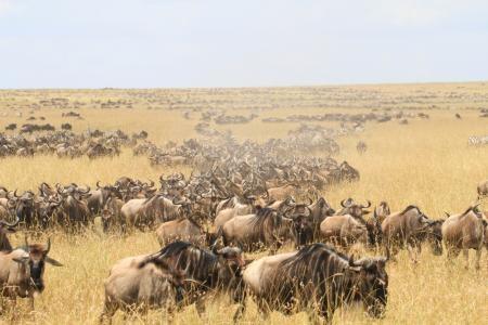 wildebeest-coming-from-rhino-ridge