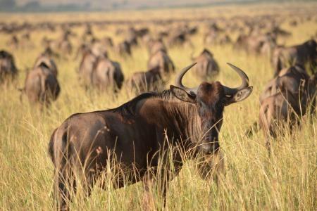 big-herds-feeding-at-paradise-plains