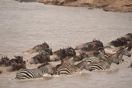 migration-crossing-the-mara-river