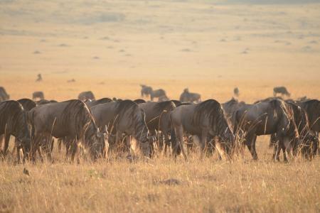 wildebeest-migration