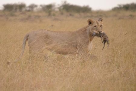 a-lioness-with-her-kill
