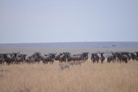 wildebeest-and-cheetah