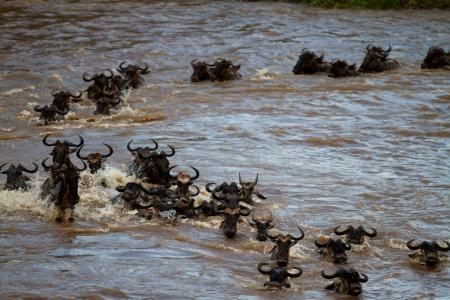 wildebeest-crossing-the-mara-river