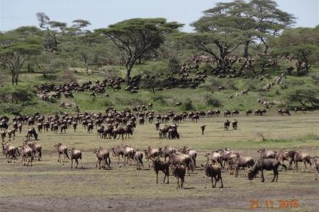 Wildebeest on the southern plains of the Serengeti