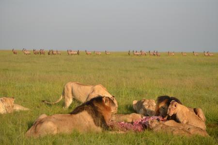 Lions feed on a topi kill