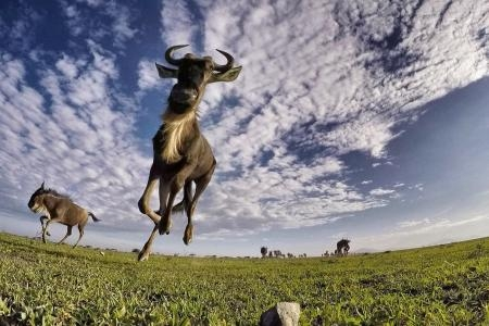 GoPro close-up of a wildebeest at Serian's Serengeti Mobile Kusini