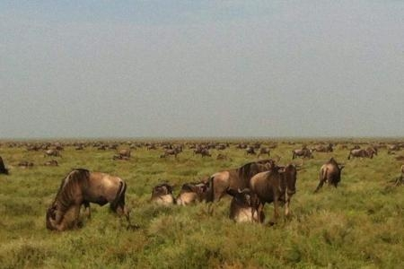 Wildebeest grazing on the southern Serengeti Plains