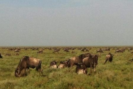 The wildbeest migration grazing on the southern Serengeti Plains