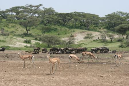 The calving season is in full swing in Ndutu