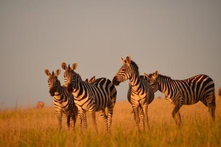Zebra in Naboisho