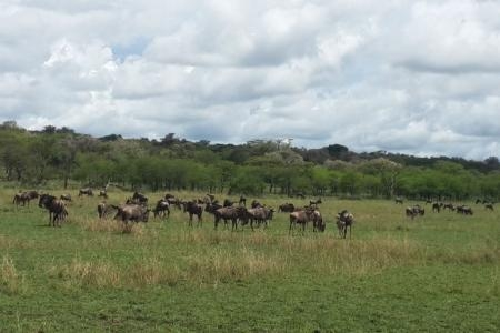 The migration is close to the Mbalageti Safari Camp