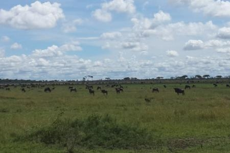 Wildebeest migration close to Mbalageti