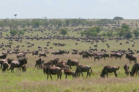 Huge herds have arrived at Four Seasons