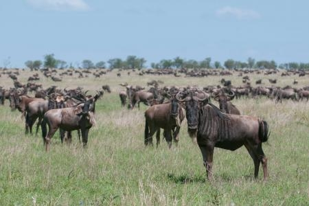 The wildebeest migration at the Four Seasons Serengeti