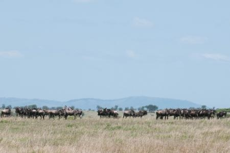 There are also huge numbers scattered all the way to Togoro Plains