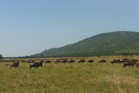 The herds are heading west to Sabora and Sasakwa