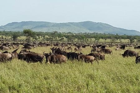 100,000 wildebeest colonising the southern Ikorongo
