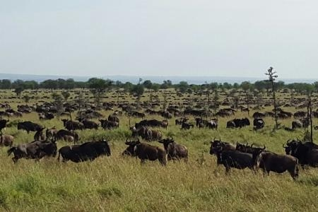 The herds are moving in a westerly direction