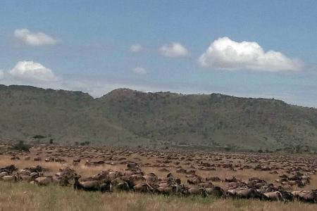 The herds pass Kananga Special Tented Camp