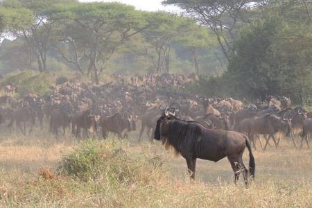 The herds are in the Kirawira area