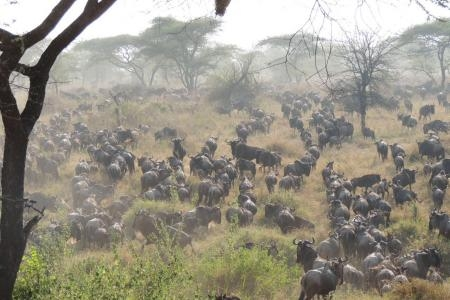 The wildebeest migration in the Western Corridor