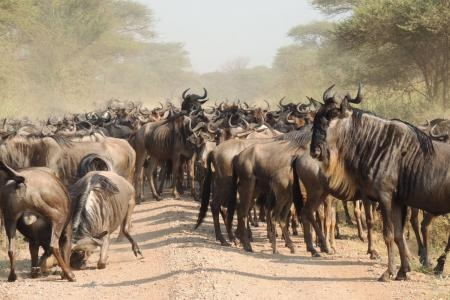 Large herd of wildbeest scattered all across the Nyasirori plains