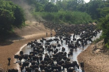 Wildebeest migration at the Grumeti River