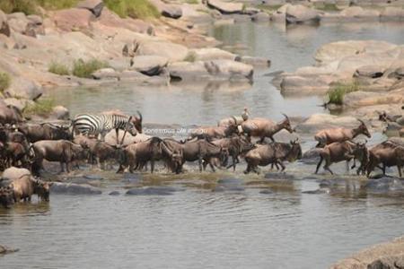 Wildebeest, topi and zebra cross the Talek River
