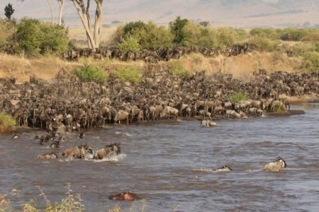 Thousands of wildebeest crossing the Mara River