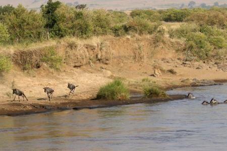 Wildebeest running on the banks of the Mara River