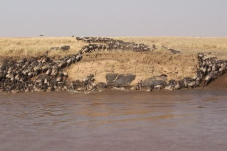 The widebeest migration continue to cross the Mara River