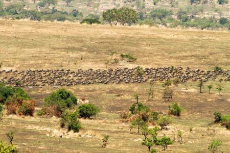 Wildebeest migration heading towards the Mara River