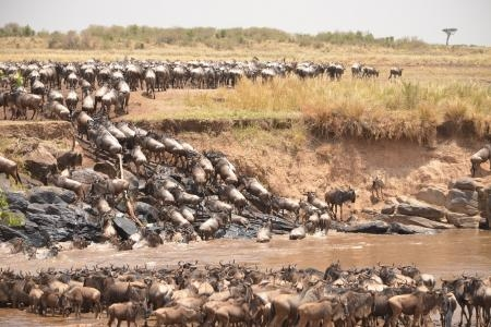 Thousands of wildebeests crossed at Cul de Sac crossing point