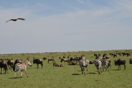 Zebra and wildebeest spread all over Rongai Plains