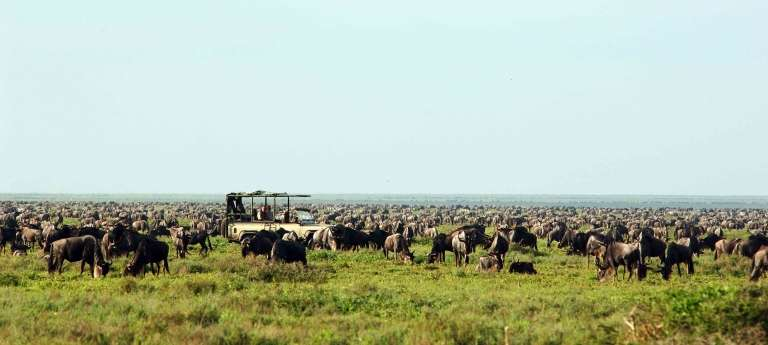 A herd of wildebeest at  Serengeti NP, Tanzania, Game drive safari