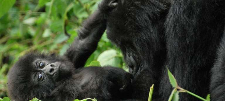 Meet the Primates of Uganda and Rwanda (12 days)