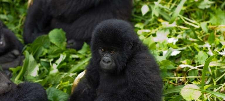 Virunga Mountain Gorilla in Rwanda