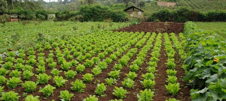 Crops at Gibbs Farm in Ngorongoro Conservation Area