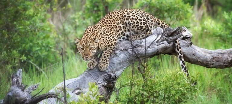 Leopard at Little Makalolo Camp, Zimbabwe