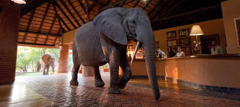 Elephant visiting Mfuwe Lodge in South Luangwa