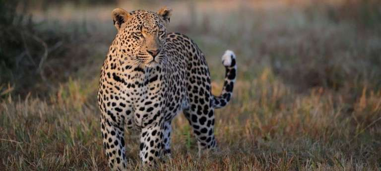 Watching a leopard on an african safari at Sabi Sand Game Reserve, South Africa