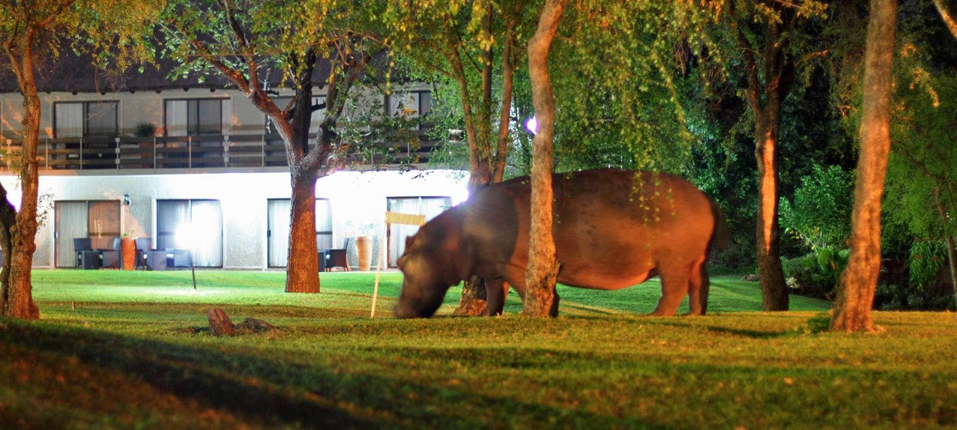 A hippo makes a surprise visit to Zambezi River Lodge
