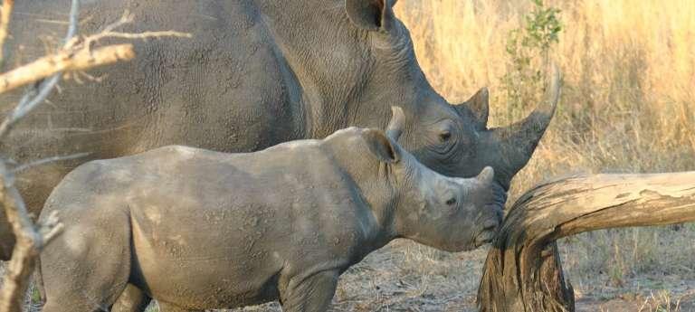 Watching Rhinos on an African safari at Sabi Sand Game Reserve, South Africa