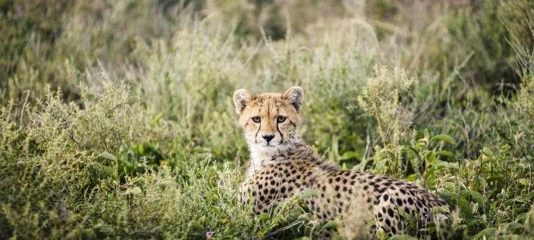Sanctuary Kichakani Serengeti Camp, Tanzania - African Wildlife Safaris