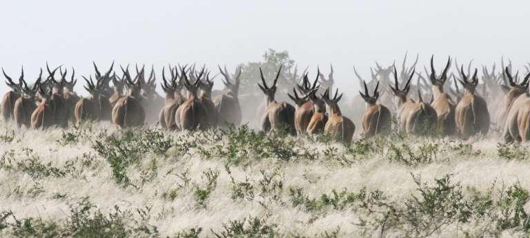 Tau Pan Eland in Botswana