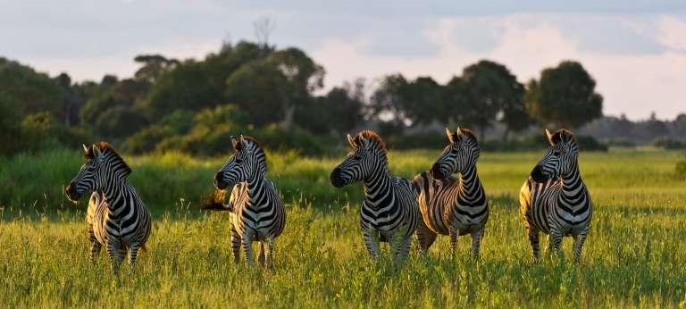 Little Mombo Camp Zebras in Botswana